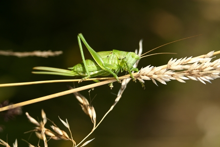 Green grashopper Tettigonia viridissima in its original environment photo