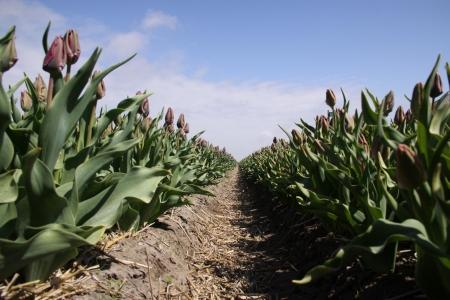 bloembollenvelden: Bollenvelden zijn nog steeds een enorme toeristische attractie en een groot economisch product
