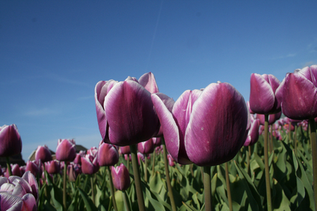 bulb fields: Flower bulbs is an important product for the Dutch export industry, nice colorfull fields attract tourisme