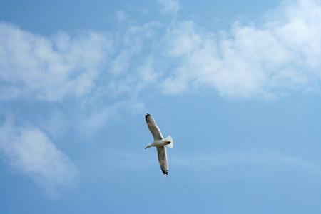 Netherlands,waddenzee,-june 2016: Seagulls follow the ferry betweeen Holwerd en Ameland
