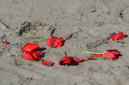 holland: rose