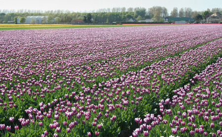 bulb fields: Netherlands, Agriculture, april 2016 :   Flower bulbs is an important product for the Dutch export industry, nice colorfull fields attract tourisme Editorial