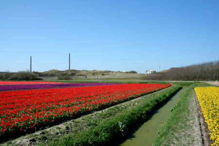 holland: Netherlands, Agriculture, april 2016 :   Flower bulbs is an important product for the Dutch export industry, nice colorfull fields attract tourisme Editorial