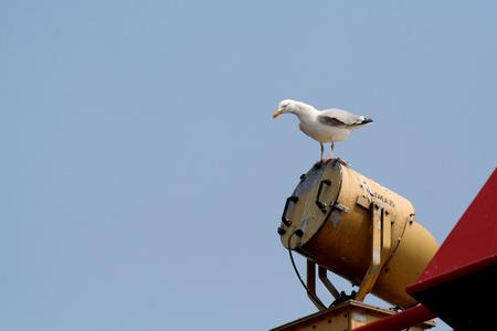 Die Niederlande, Waddenzee, -juni 2016: Seemöwen folgen der Fähre zwischen Holwerd en Ameland Standard-Bild - 76378530
