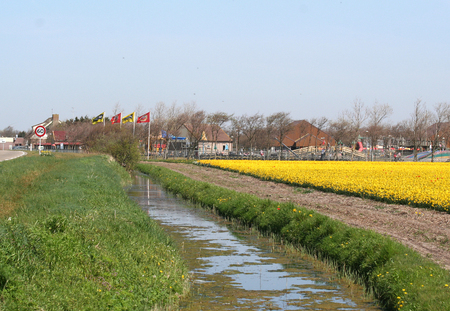 Netherlands, Agriculture, april 2016 :   Flower bulbs is an important product for the Dutch export industry, nice colorfull fields attract tourisme Editorial