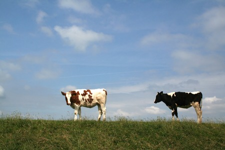 Cows on the dike