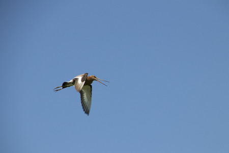 Netherlands,North Holland,Marken, june2016: black-tailed godwit is breeding in Marken 写真素材