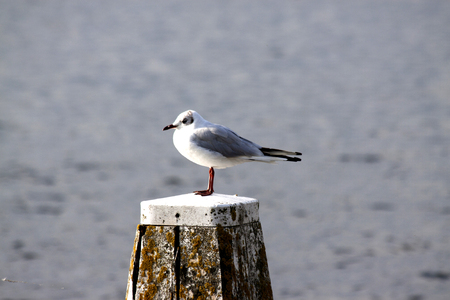 Netherlands,North Holland,Marken, june2016: Seagull on dukdalf looking over water