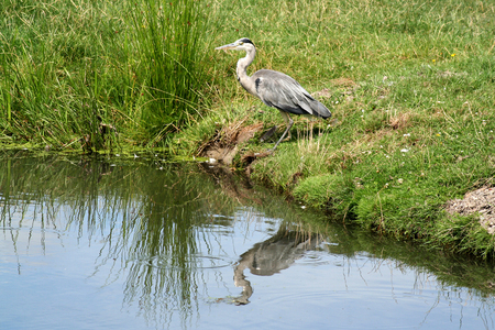 Netherlands,North Holland,Marken, june2016: grey heron in the meadows and rural land in the island of Marken
