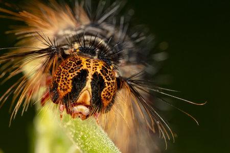 Orange and black Caterpillar of the Gypsy Moth (Lymantria dispar) with big spines on a green leaf