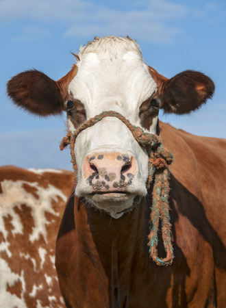 closeup cow face: Close up of brown and white cow staring under blue sky