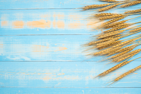 Wheat ears grain on blue wooden background. World Food Day Concept (October 16), Top view and Copy space for your text