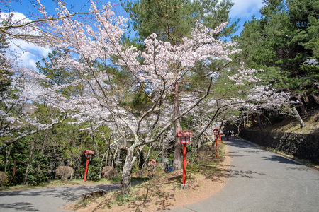 beautiful pink Cherry Blossom at Chureito red Pagoda temple area. Spring Season at Fujiyoshida. landmark and popular for tourist attractions in Japan