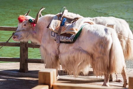 Beautiful of Yak at Blue Moon Valley, landmark and popular spot for tourists attractions inside the Jade Dragon Snow Mountain (Yulong) Scenic Area, near Lijiang Old Town. Lijiang, Yunnan, China. Stok Fotoğraf