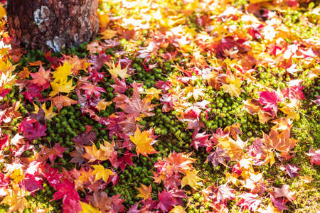 Colorful falling foliage in the garden, maple leaves natural color background banner for Autumn season, seasonal change, different and transition concept