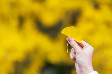 Woman hand holding Yellow ginkgo biloba leaf in the garden, fall foliage leaves natural color background banner for Autumn season, seasonal change, different and transition concept Reklamní fotografie