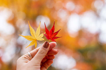 Woman hand holding maple leaves, yellow, orange, and red color. Colorful falling foliage in the garden, natural background banner for Autumn season, seasonal change, different and transition concept