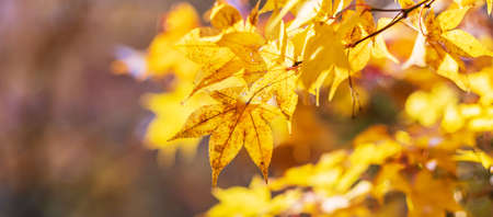 Selective focus Yellow maple leaves in the garden with copy space for text, natural colorful background banner for Autumn season, vibrant falling foliage, seasonal change and transition concept Reklamní fotografie