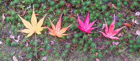 maple leaves arrange on green background, yellow, orange, red and brown color. Colorful falling foliage in the garden, natural banner for Autumn season, seasonal change, different and transition