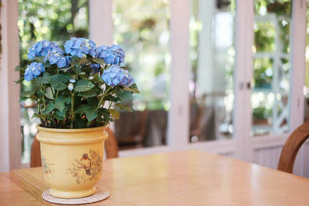 Beautiful blue hydrangea bush flower in pot on wooden table with copy space