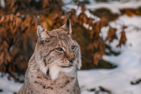 lynx in snowy winter landscape, lynx enclosure near Rabenklippe, Bad Harzburg, Germany