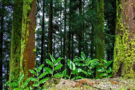 green lush forest on the island of Sao Miguel, Azores, Portugal 版權商用圖片
