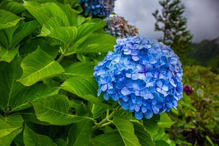 hydrangeas on the side of the road on Sao Miguel Island, Azores, Portugal