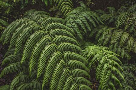 green fern plants in a forest on Sao Miguel Island, Azores, Portugal 스톡 콘텐츠
