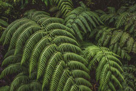 green fern plants in a forest on Sao Miguel Island, Azores, Portugal Zdjęcie Seryjne