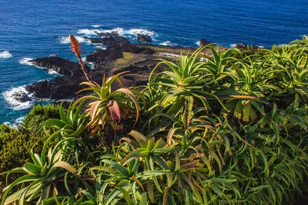 Aloe vera plants are growing on top of cliffs next to the ocean, Sao Miguel Island, Azores, Portugal
