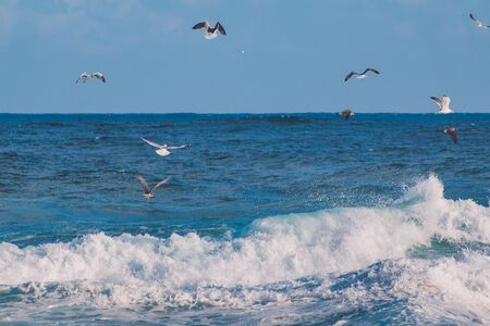 a colony of seagulls is looking for food over the wavy ocean on the Azores, Portugal