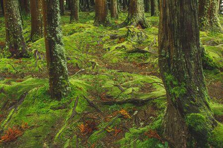 Mistica foresta verde terreno con radici su Soa Miguel, Azzorre, Portugal