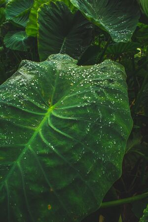 huge leaves of waterplant on Sao Miguel Island, Azores, Portugal