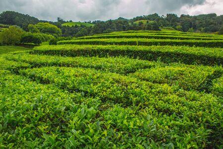 Cha Gorreana tea plantation on the island of Sao Miguel, Azores, Portugal