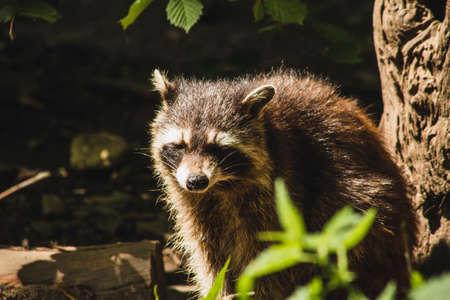 Raccoon in nature. Animal theme. Wildlife park in Warstein, Germany Standard-Bild