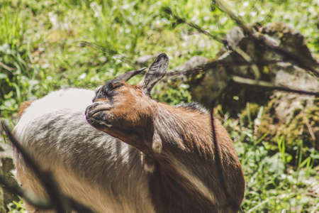 Goats in the sun. Animal theme. Wildlife park in Warstein, Germany Imagens