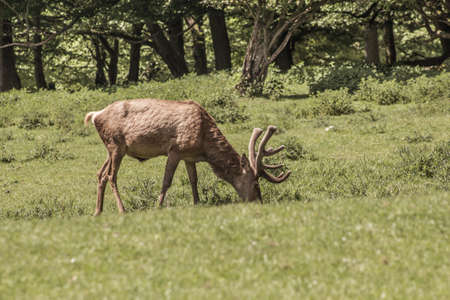 Single red deer on a green clearing. Animal theme. Wildlife park in Warstein, Germany