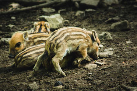 Young wild boar in animal enclosure. Animal theme. Wildlife park in Warstein, Germany Imagens