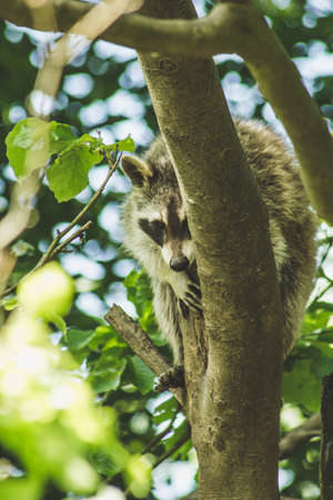 Raccoon in nature. Animal theme. Wildlife park in Warstein, Germany Imagens