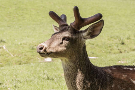 Single sika deer on a sunny day. Animal theme. Wildlife park in Warstein, Germany