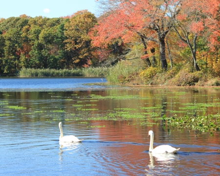 long lake: Two white swans swiming on lake with fall colors reflections