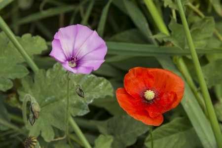 convolvulus: Two flowers isolated  Mllow bindweed  Convolvulus althaeoides  and a poppy  Papaver dubium  Stock Photo
