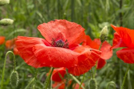 papaver: Poppy  Papaver dubium  in a wheat field