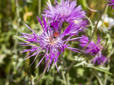 Firebug  Pyrrhocoris apterus  sucking nectar on a thistle photo