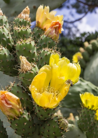 Beautiful flowers of a prickly pear photo