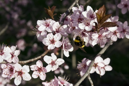 prunus cerasifera: Japanese Plum tree  Prunus cerasifera  with pink flowers and bee Stock Photo