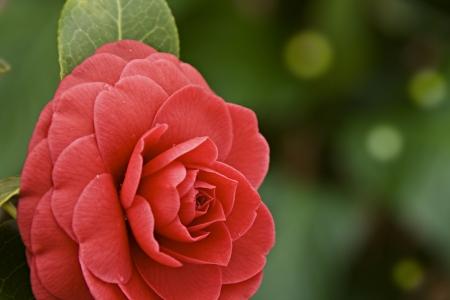 japonica: Camellia japonica Stock Photo
