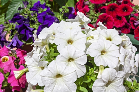Petunias composing a color palette