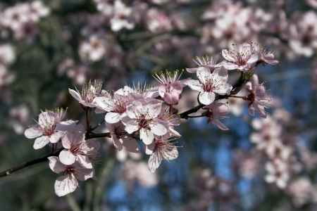 prunus cerasifera: Japanese Plum tree  Prunus cerasifera  with pink flowers
