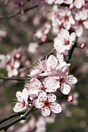 prunus cerasifera: Japanese Plum tree  Prunus cerasifera  with pink flowers  tree, stamens, spring, pistils, pink, petals, nature, flowers, flora, branch, botany, japanese, plum